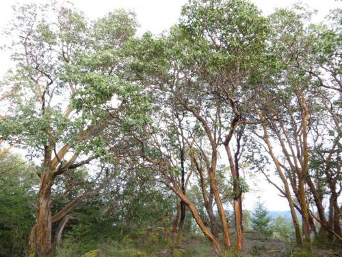 Arbutus grove