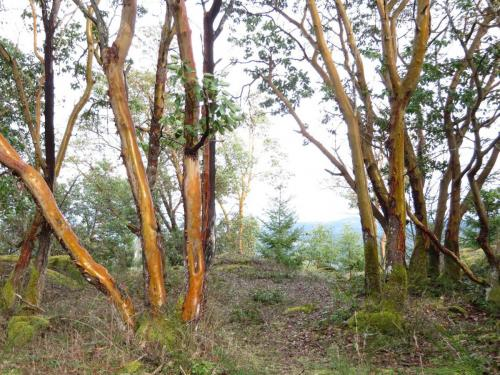 Arbutus trunks with fir